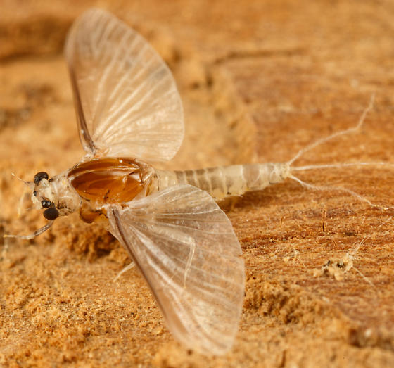 mayfly - Caenis