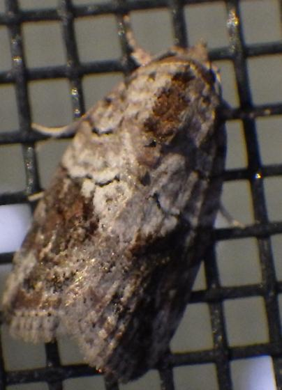 Moth attracted to blacklight - Garella nilotica