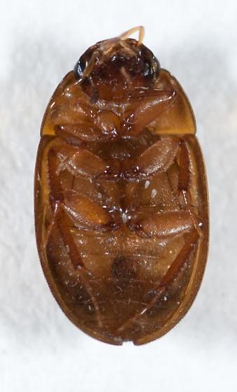 Hydrophilidae #2 - Enochrus ochraceus