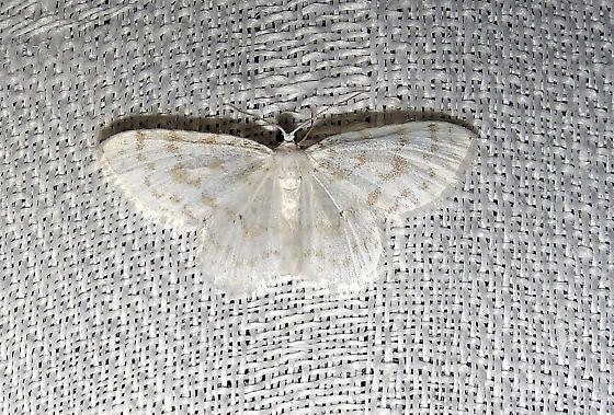 Hydrelia albifera (Fragile White Carpet) - Hydrelia albifera