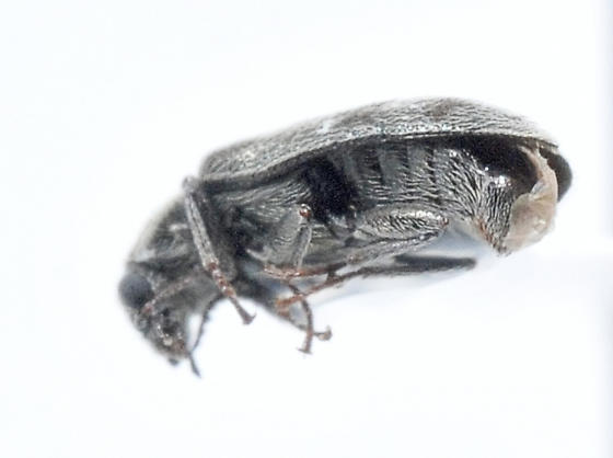 Small beetle from a rangeland pan trap - Listrus
