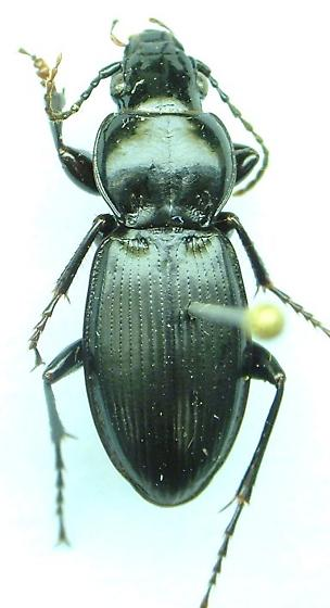 Cyclotrachelus - Cyclotrachelus sodalis - male
