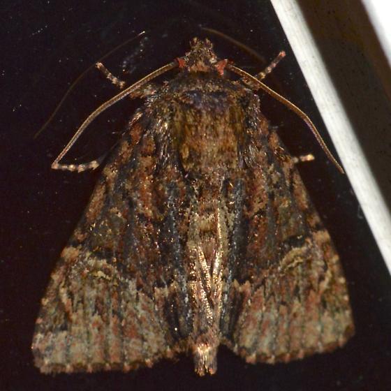 Turbulent Phosphila - Phosphila turbulenta