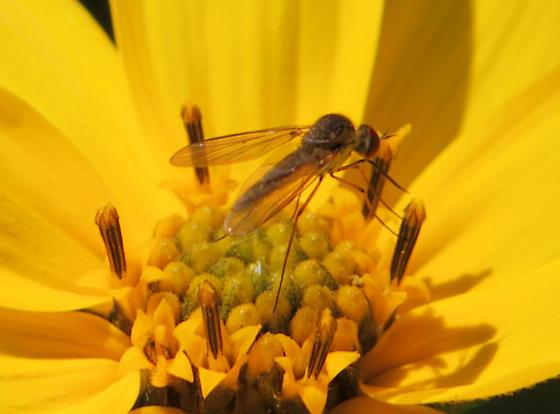 Small Fly - Geron calvus
