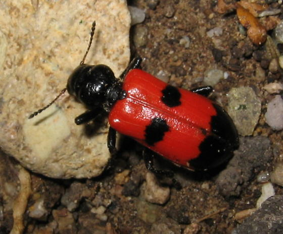 Red and Black Beetle - Aulicus edwardsii