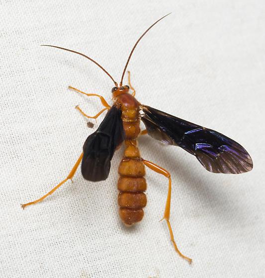 Ichneumonid Wasp - Trogus pennator