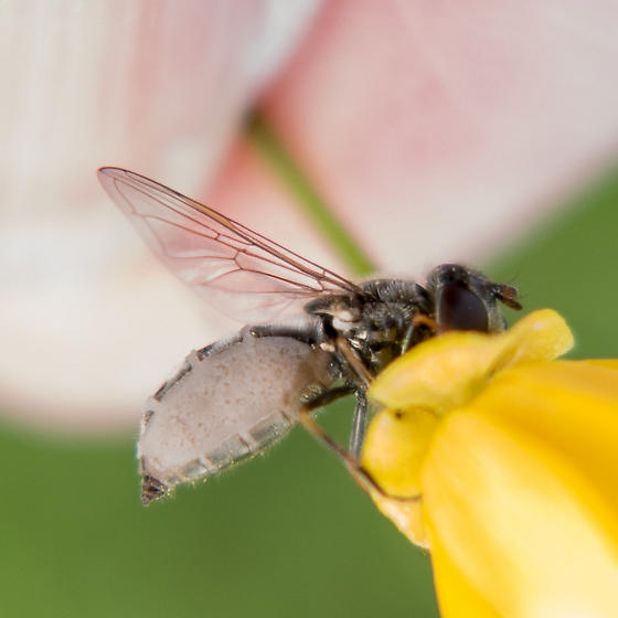 Flies clinging to flower stems - Platycheirus