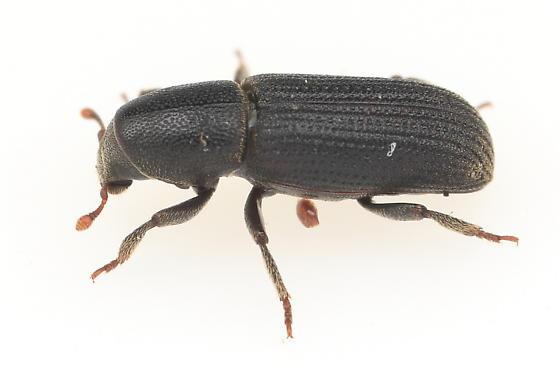 Weevil - Hylastes macer