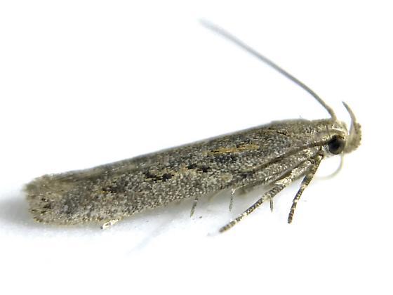 Scrobipalpa atriplicella - male