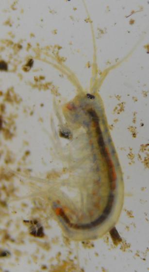 Very Small Crustacean  - Gammarus