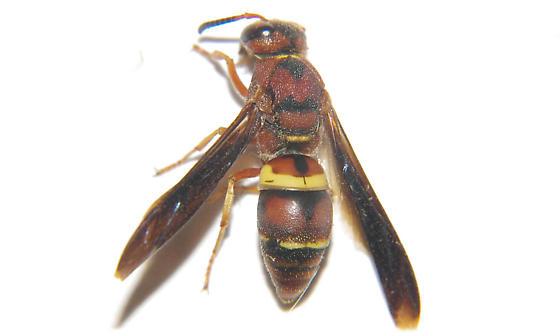 Euodynerus crypticus