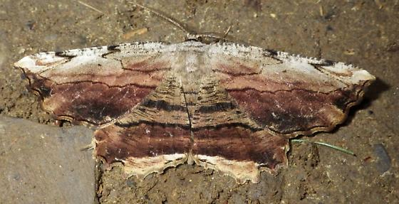 6720 – Lytrosis unitaria – Common Lytrosis - Lytrosis unitaria