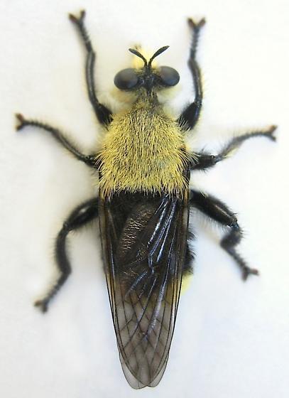 Astur Robber Fly - Laphria astur