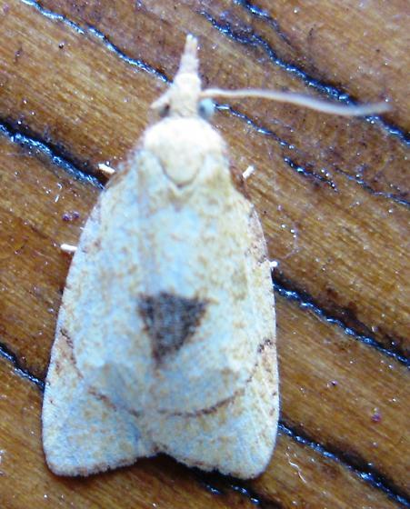 Cenopis mesospila - Hodges#3721 - Cenopis mesospila