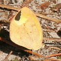 Yellow Butterfly - Eurema daira