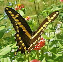 butterfly - Papilio cresphontes