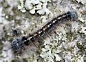 Forest Tent Caterpillar - Malacosoma disstria
