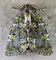 Yellow-spotted Brocade - Oligia chlorostigma