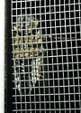 unid. cicada - Neotibicen linnei - female