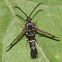 Clearwing Moth - Osminia ruficornis