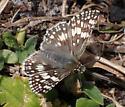 Burnsius albescens - Pyrgus