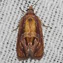 Hodges#2751 - Zomaria rosaochreana