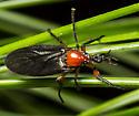 Dilophus stigmaterus - female