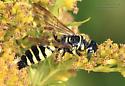 Vespidae - Myzinum - female