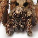 Gladicosa cf. pulchra - Gladicosa pulchra - male