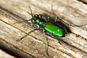 Bright Green Bug - Cicindela sexguttata