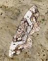 Moth on Cliff - Hypagyrtis unipunctata - female