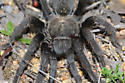 Which Tarantula is this? - Aphonopelma