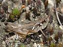 Grasshopper - Orphulella speciosa - male