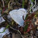 Western Tailed-Blue - Cupido amyntula