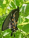 Spicebush Swallowtail - mating pair - Papilio troilus - male - female