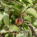 Conotrachelus albicinctus