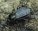 Necrodes surinamensis - male