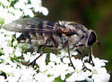 Horse Fly  - Stonemyia rasa - female