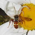 Nomada species? - with crab spider - Nomada - male