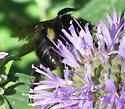B. Occidentalis? - Bombus californicus - female