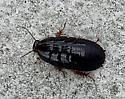 Cockroach ID - Pycnoscelus surinamensis