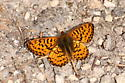 Orange butterfly with black stripes - Boloria