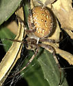 Tan and speckled yellow orb weaver  - Neoscona oaxacensis - female