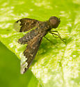 dark brown fly with picture wings - Hemipenthes sinuosa