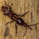 Oak Timberworm - Arrhenodes minutus - female