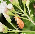 bug - Zelus longipes