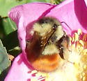 Black-tailed Bumble Bee - Bombus melanopygus