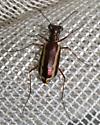Tiger Beetle - Parvindela lemniscata