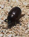 Western Carrot Beetle - Tomarus gibbosus