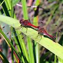 Dragonfly Seen in Parc Nature Ile de Bizard - Sympetrum vicinum
